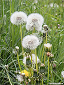 375-foto-dandelion-clock-frankfurt-th