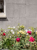 402-roses-frankfurt-editorial-th